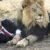 Vamos domar o Leão?
